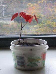 tiny maple